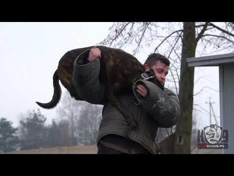 Www.K9dogs.pl - WICHER - Pies