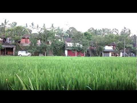 Kokokan Birds of Petulu Village, Bali
