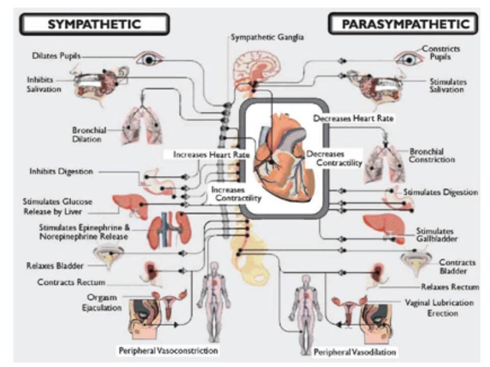 PHYSIOLOGIE Physiologie du système nerveux autonome  YouTube
