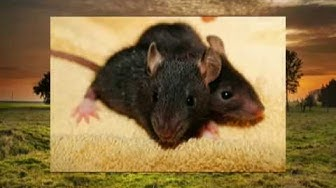 Traumdeutung Ratten - - - Ratte - Maus - Mäuse - Nager - Nagetier