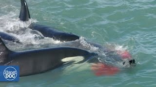 Killer Whales Attack Elephant Seal: Patagonia