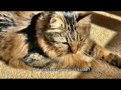 PJ, the Grumpy Maine Coon Cat