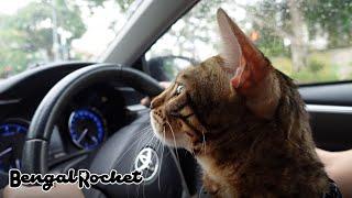 【病院】1歳の定期健診に行く途中ドライブを楽しむベンガル猫【ベンガルロケット♯122】