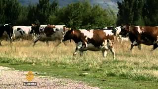 Uspjeh moderne farme kod Tomislavgrada