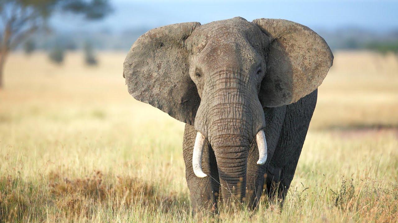 الفيل | أضخم الحيوانات | ملك الغابة الحقيقي