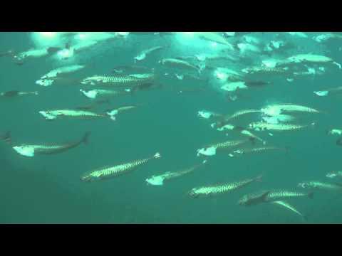 Atlantic Mackerel Underwater