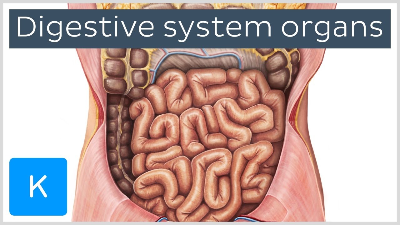 Organs of the digestive system (preview) - Human Anatomy | Kenhub ...