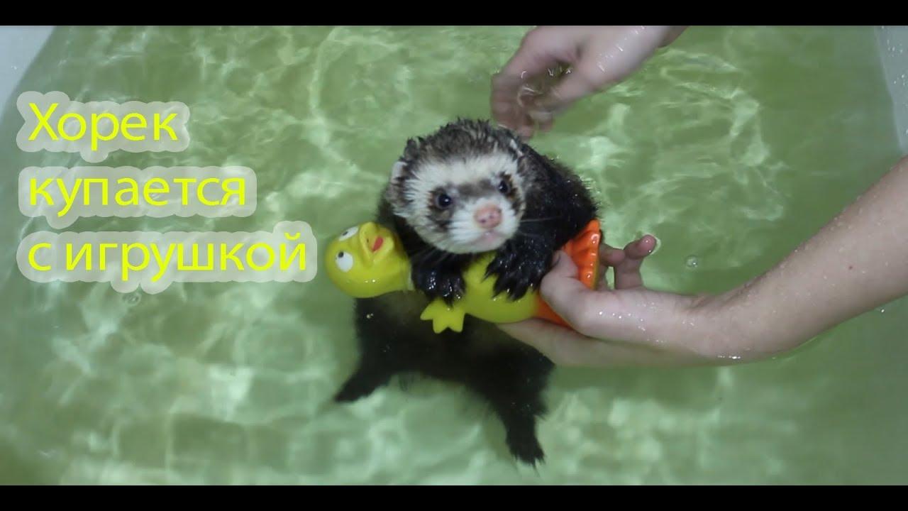 Хорек купается с игрушкой