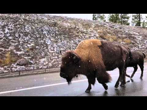 Bison Yellowstone End of October 2015