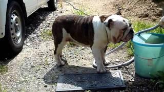 ご近所の飼い犬 こいつはいつも豚みたいだが迫力満点のブルドッグ 愛犬...