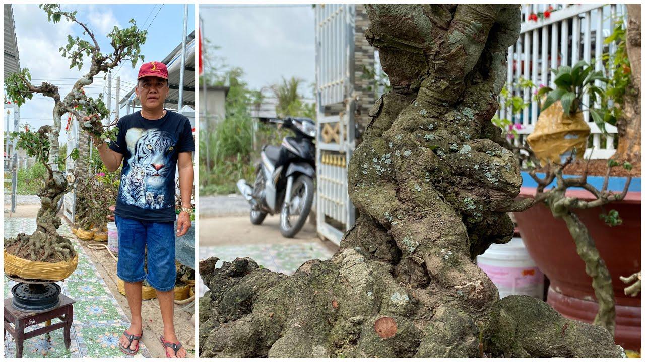 LÔ KHẾ GÂN giá rẻ VĨNH LONG🌻0906 000 774 A PHONG   ngày 04/02/2020🌻 bonsai Can Tho
