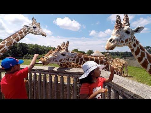 Feeding Giraffes on Safari Tour | Six Flags Great Adventure | New Jersey