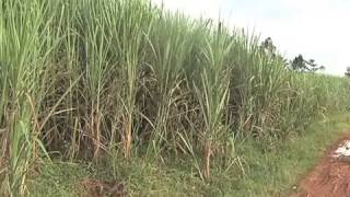 Mumias Sugar Co. MD: The Company Is On The Verge Of Collapse