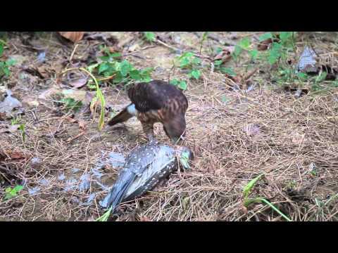 Crested goshawk drowns night heron