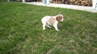 Pennsylvania Cavalier King Charles Spaniel Puppies