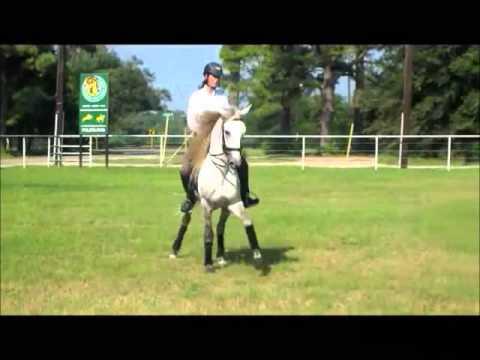 SOLD Temporal - PSG Lusitano Dressage Stallion for Sale