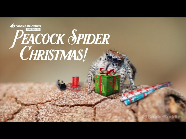 A Peacock Spider Christmas