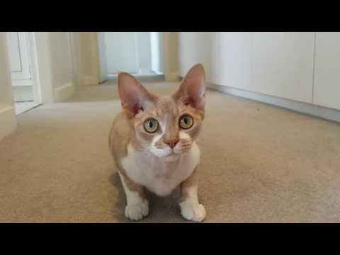 Anakin the Devon Rex cat likes to play fetch