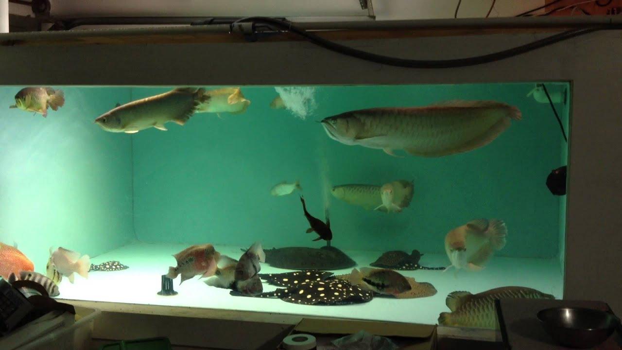 Fish for asian aquarium - Asian Arowana Community Tank