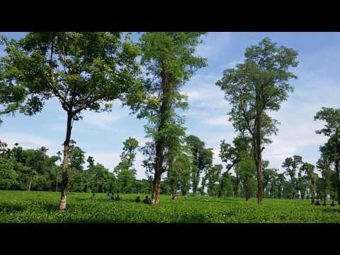 Beautiful Scenery of Sylhet tea garden(Jaflong) , Bangladesh