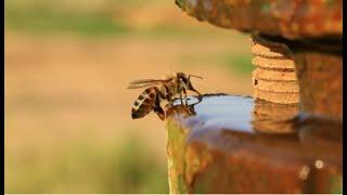 Пчеловодство. Лучшая вода для пчёл. Какую воду любят пчёлы. И где они её берут.