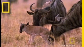 Wildebeest Migration | National Geographic