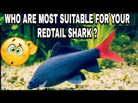 Tank Mates For Red Tail Shark Fish | Red Tail Shark Fish Tank Mates