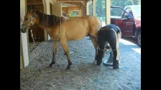 Training a horse to tolerate having his hooves trimmed for first time