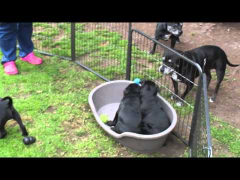 Staffordshire bull terrier pups playing M4H03123