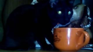 Кошка пьёт чай на столе)))