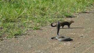 cobra vs mongoose