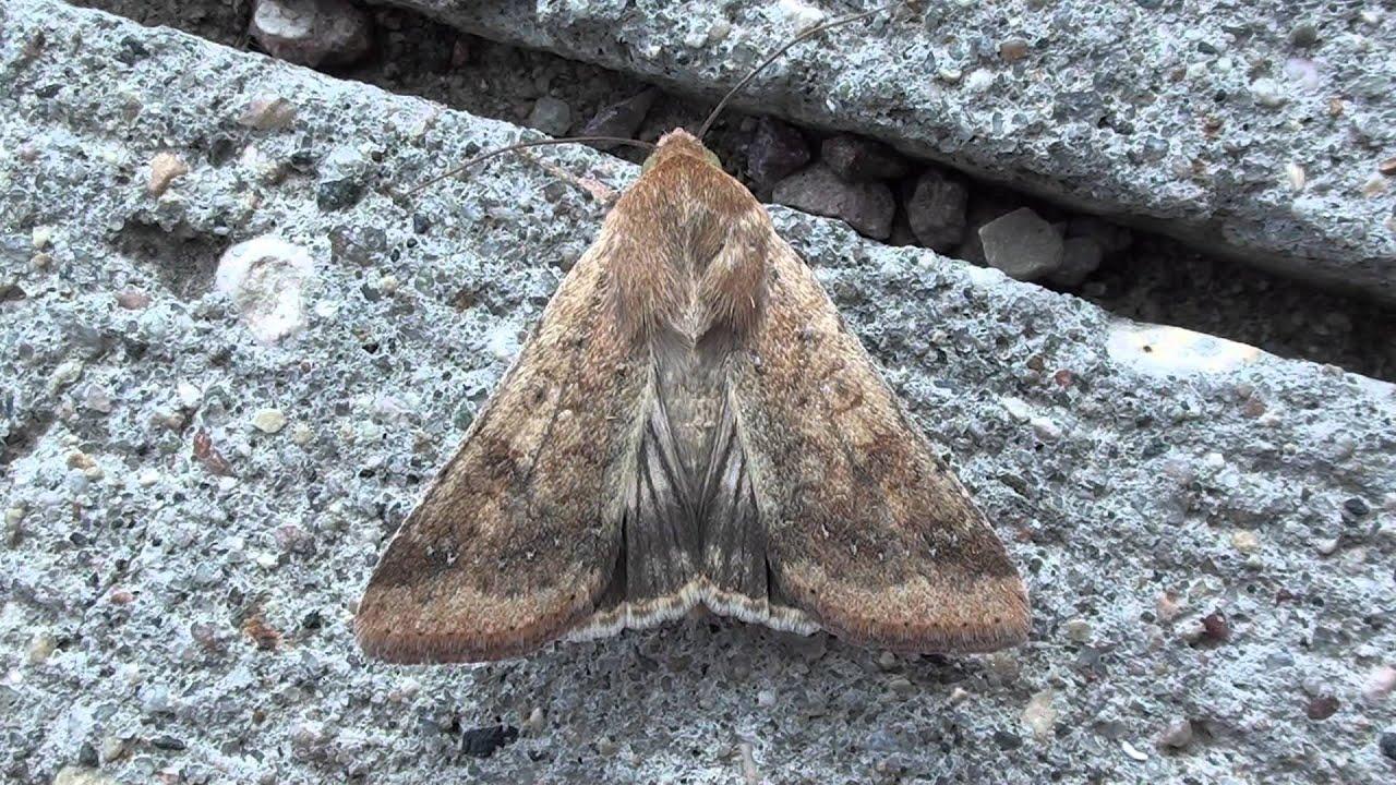 Corn Earworm Moth (Noctuidae: Helicoverpa zea) Dorsal View - YouTube