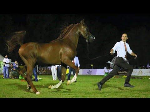 Arabian Horse Beauty Jeddah | Jeddah | Horse beauty | Horse beauty contest | بلازما الشعر