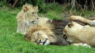 Lion & lioness acting cute - @ Knowsley Safari Park