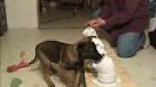 Puppy Training Detection Work, Malinois Puppy