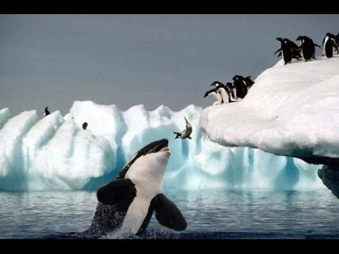Habitat of the Orca Killer Whales & Sea Creatures [Nature Wildlife Documentary Full HD]