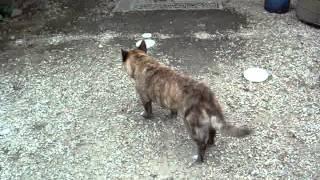 関宿石の旅籠石塚屋の看板犬、琉球犬のゆりこさん。
