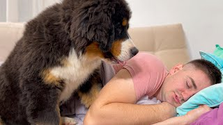 Bernese Mountain Dog Puppy Wakes Me Up!
