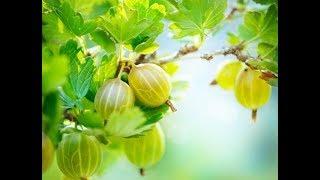 видео Обрезка кустарников: 3 важных правила для хорошего урожая малины, смородины, жимолости и крыжовника