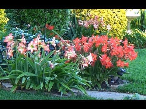 🍀🌻🌷 Гиппераструм  или амариллис  Комнатные цветы в клумбе
