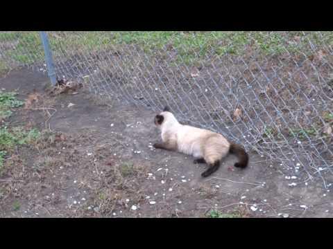 Siamese Cat Predicting An Earthquake