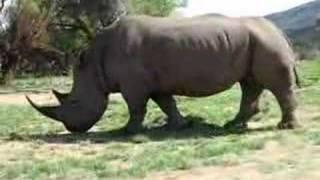 Nosorog , Rhino