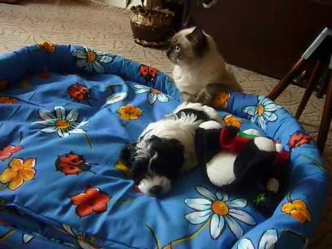 Kocourek Ragdoll (Fredy) a Boloňský psík (Ben) - YouTube 1e20c2b045