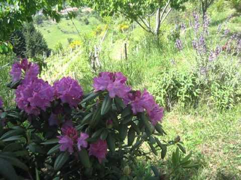 Rododendro youtube for Rododendro pianta