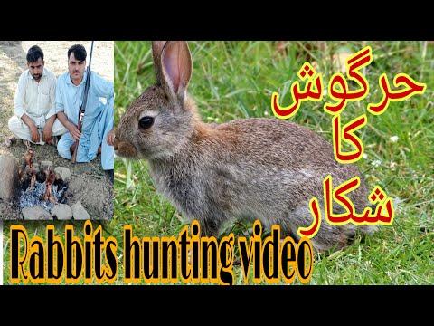 #rabbithunthing #rabbitshunthinginpakistan #rabbits Rabbit hunting in pakistan