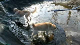 ドッグランのプール掃除が終わってお水が入ってきました♪ せらは勢いよ...