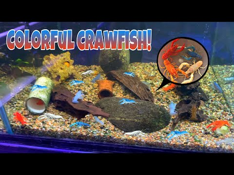 Buying COLORFUL CRAWFISH For My AQUARIUM!!