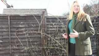Gardening Tips: How To Prune Roses