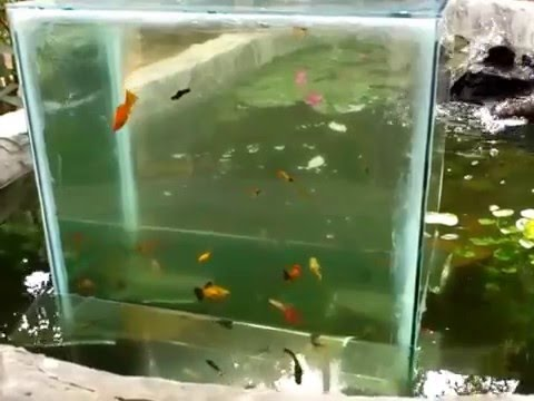 Front yard fish pond with upside down glass tank anas for Koi pond glass