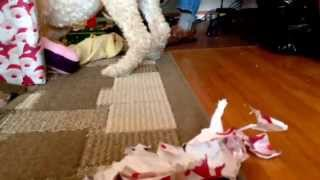 Poodle Opens His Xmas Gifts!